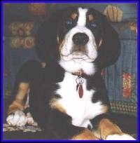 Buschy Buck Swissy Puppy at fourteen weeks